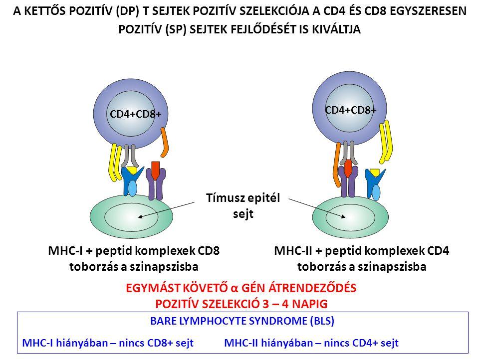 MHC-I + peptid komplexek CD8 toborzás a szinapszisba