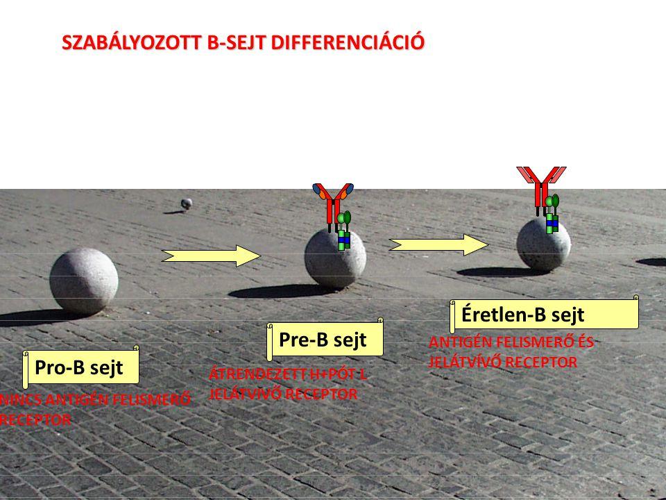 SZABÁLYOZOTT B-SEJT DIFFERENCIÁCIÓ