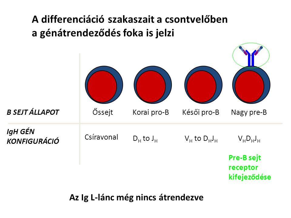 A differenciáció szakaszait a csontvelőben