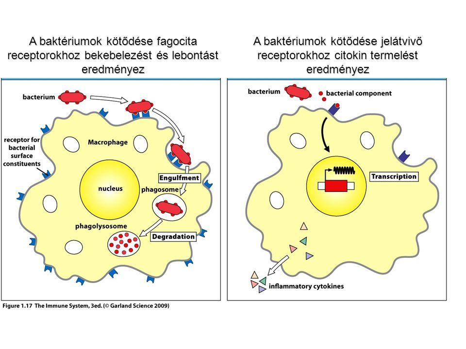 A baktériumok kötődése fagocita receptorokhoz bekebelezést és lebontást eredményez