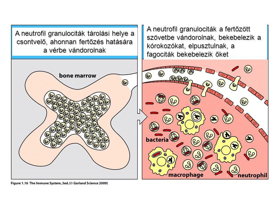 A neutrofil granulociták a fertőzött szövetbe vándorolnak, bekebelezik a kórokozókat, elpusztulnak, a fagociták bekebelezik őket