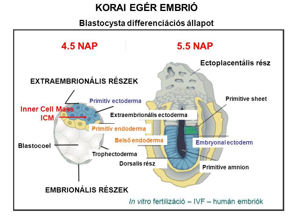 Blastocysta differenciációs állapot EXTRAEMBRIONÁLIS RÉSZEK