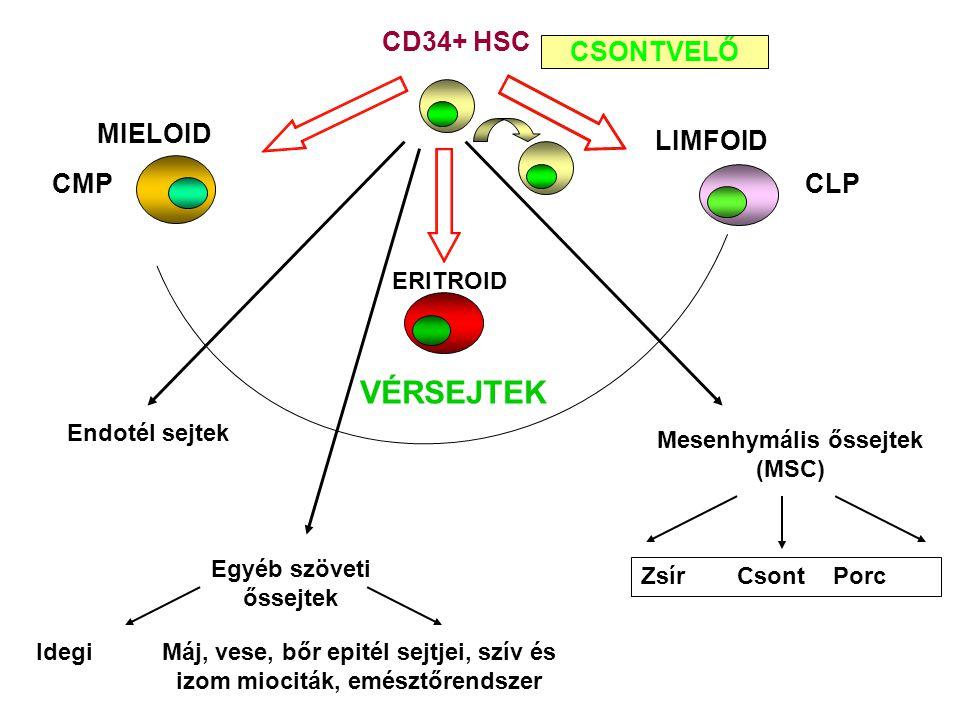 Mesenhymális őssejtek (MSC)