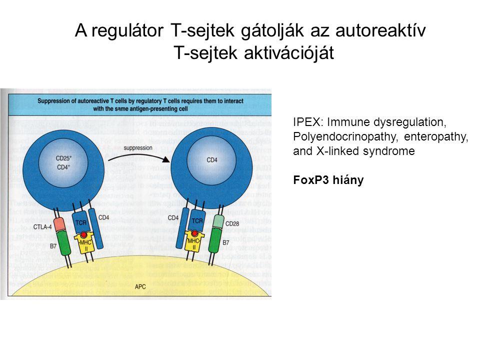A regulátor T-sejtek gátolják az autoreaktív T-sejtek aktivációját