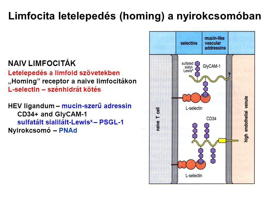 Limfocita letelepedés (homing) a nyirokcsomóban