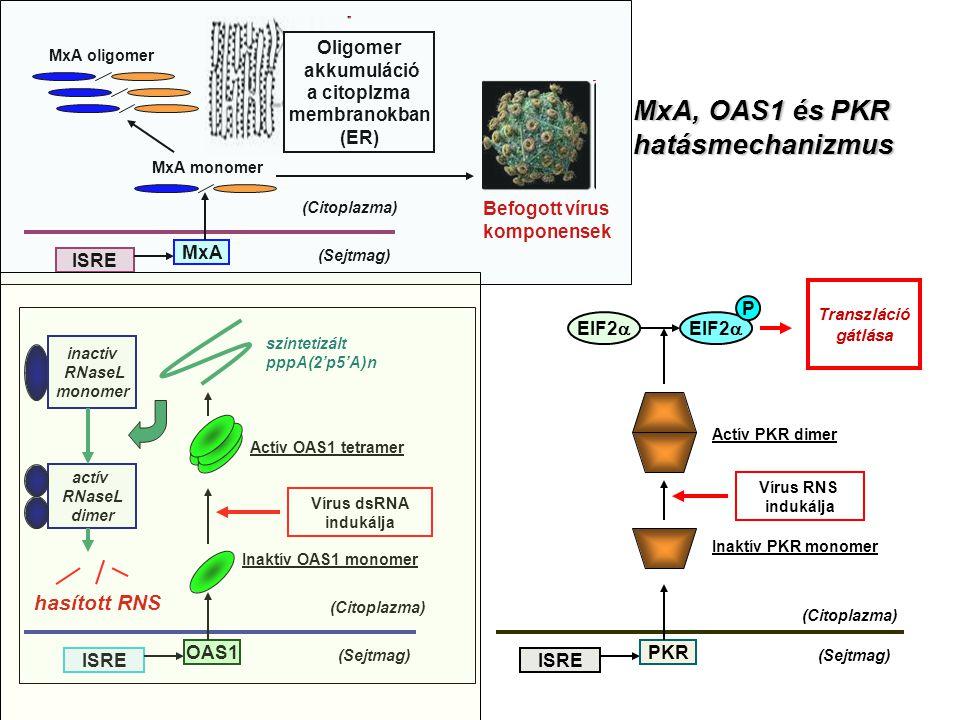 MxA, OAS1 és PKR hatásmechanizmus hasított RNS Oligomer akkumuláció