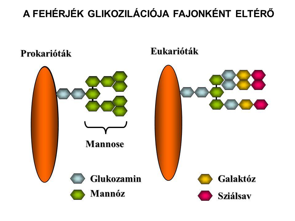 A FEHÉRJÉK GLIKOZILÁCIÓJA FAJONKÉNT ELTÉRŐ