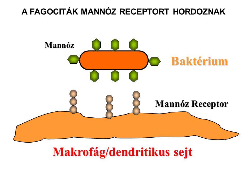 A FAGOCITÁK MANNÓZ RECEPTORT HORDOZNAK