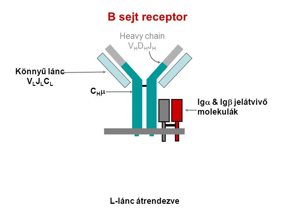 B sejt receptor Heavy chain VHDHJH Könnyű lánc VLJLCL CHm