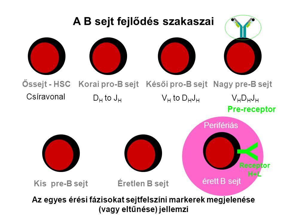 Y A B sejt fejlődés szakaszai Nagy pre-B sejt Pre-receptor