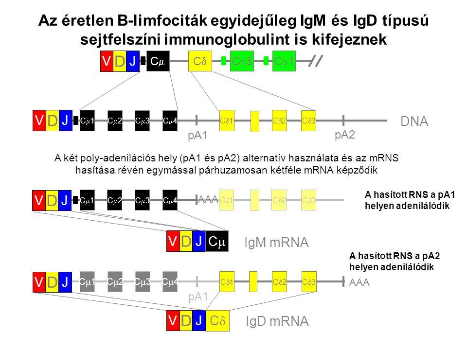 Az éretlen B-limfociták egyidejűleg IgM és IgD típusú sejtfelszíni immunoglobulint is kifejeznek