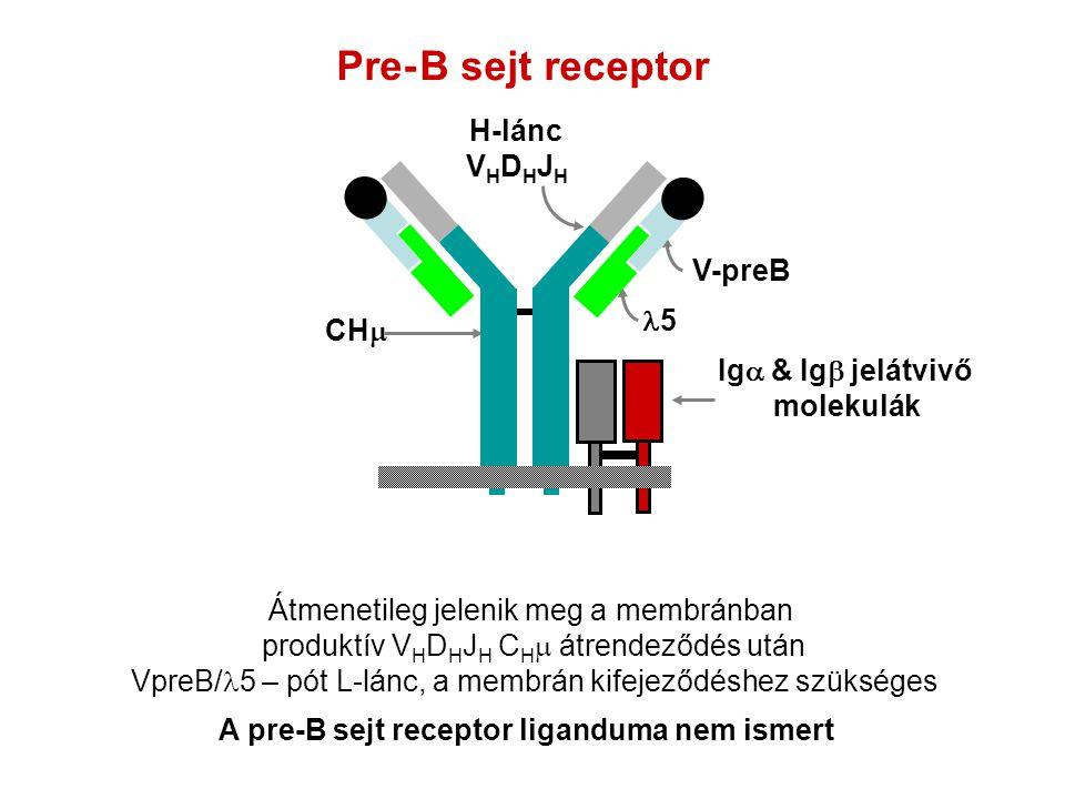A pre-B sejt receptor liganduma nem ismert