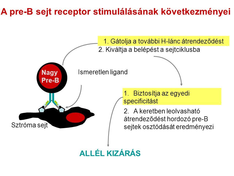 A pre-B sejt receptor stimulálásának következményei