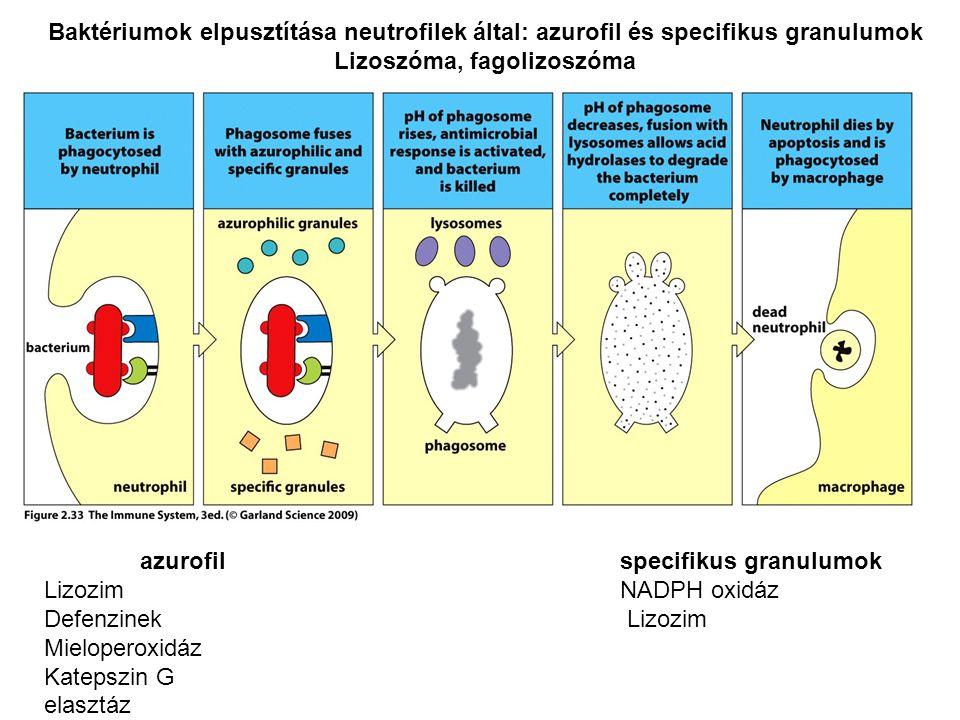 Lizoszóma, fagolizoszóma