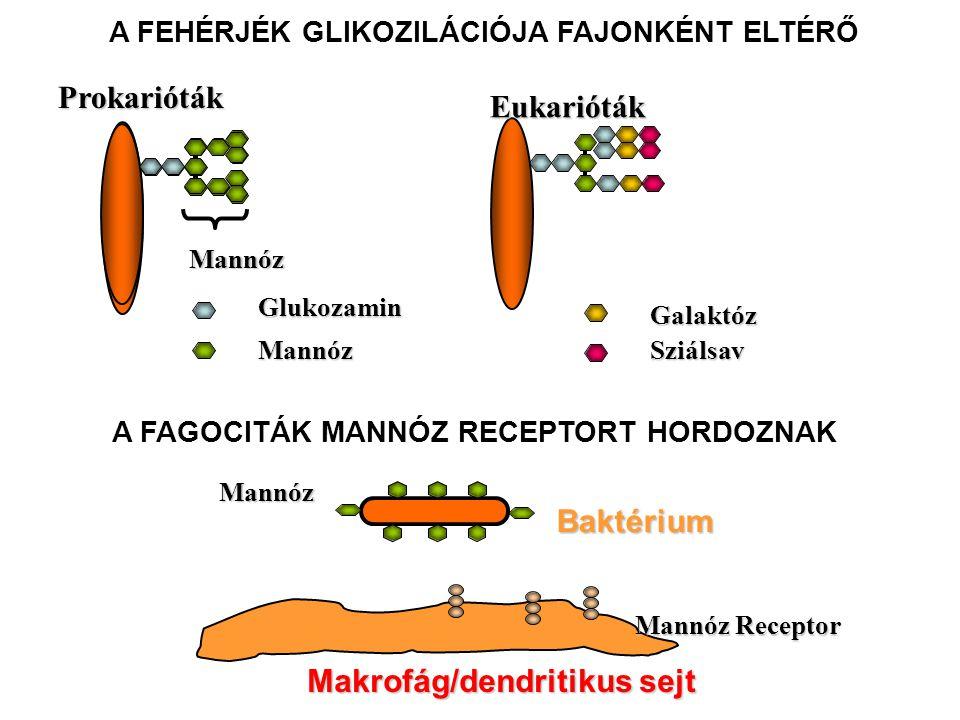 Makrofág/dendritikus sejt