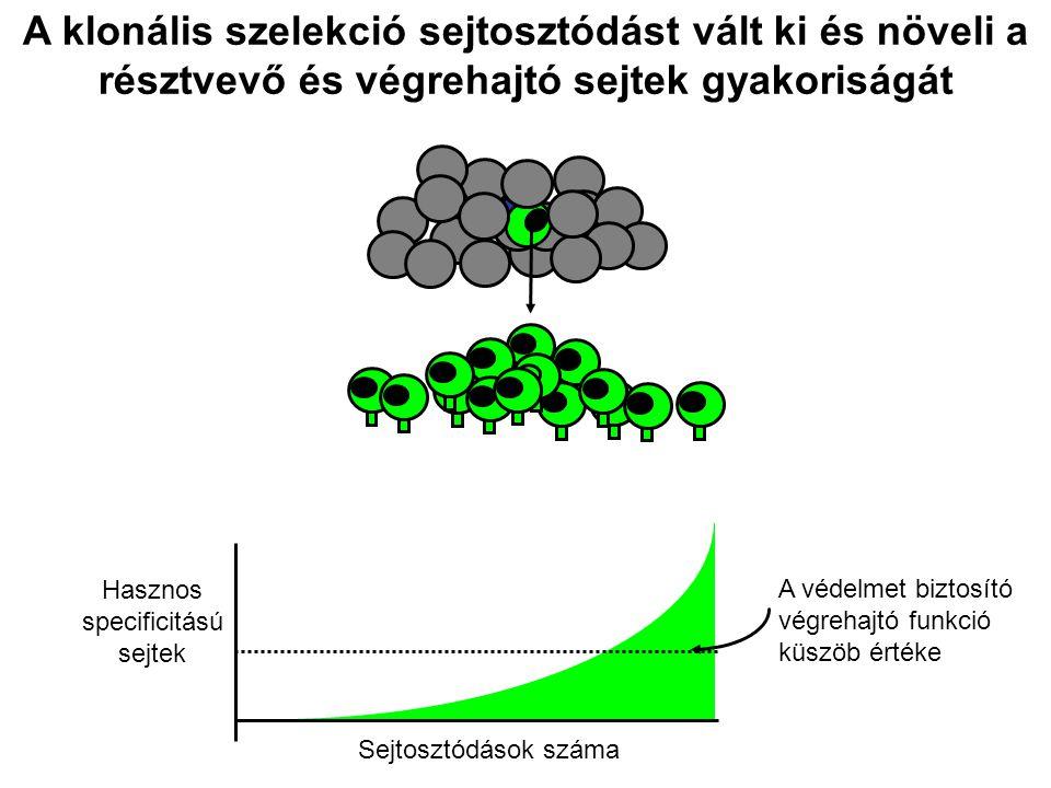 A klonális szelekció sejtosztódást vált ki és növeli a résztvevő és végrehajtó sejtek gyakoriságát
