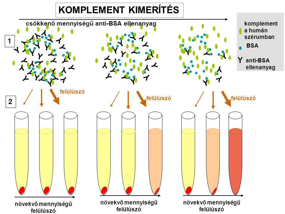 KOMPLEMENT KIMERÍTÉS Y 1 2 csökkenő mennyiségű anti-BSA ellenanyag