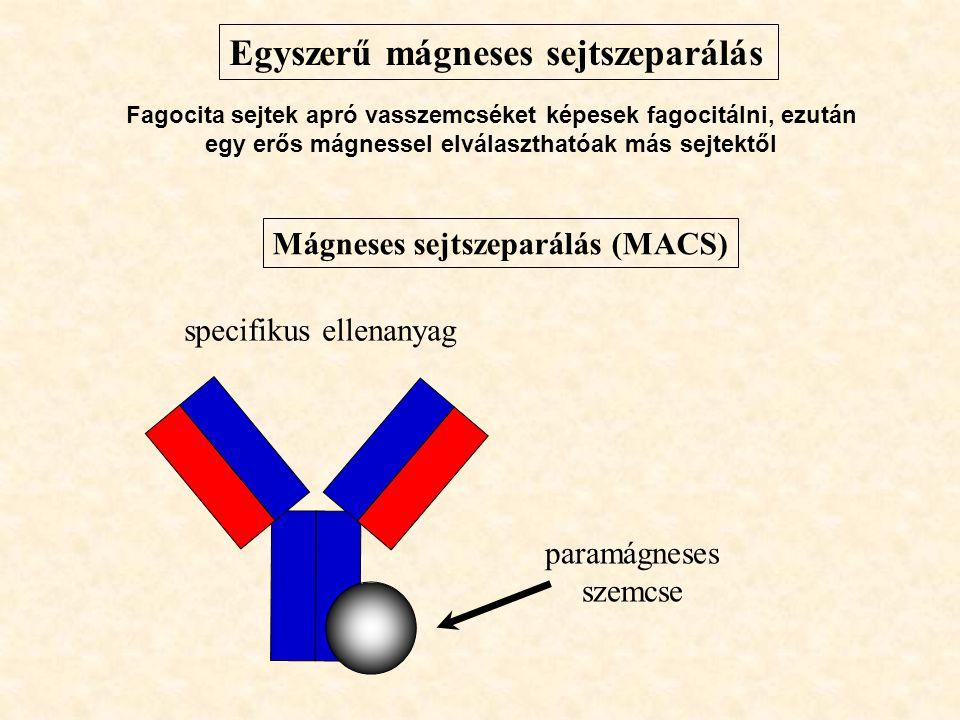 Egyszerű mágneses sejtszeparálás