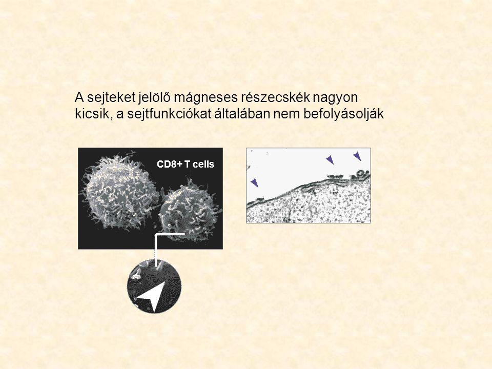 A sejteket jelölő mágneses részecskék nagyon kicsik, a sejtfunkciókat általában nem befolyásolják