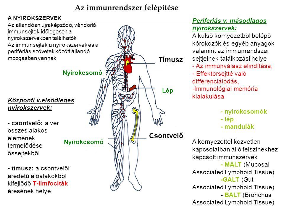 Tímusz Csontvelő Periferiás v. másodlagos nyirokszervek: