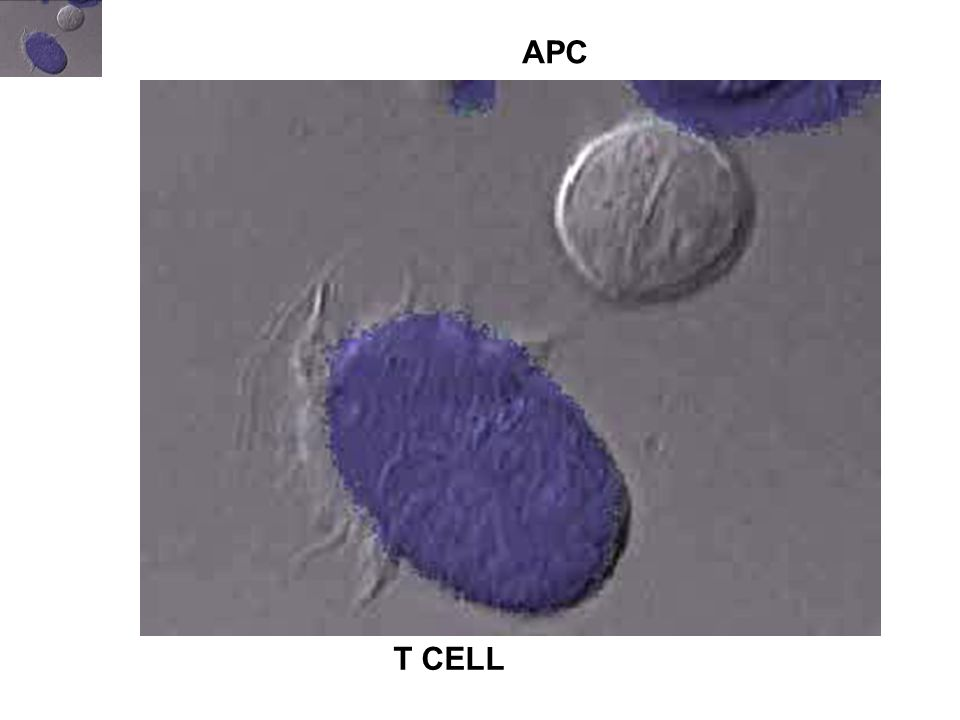 APC T CELL