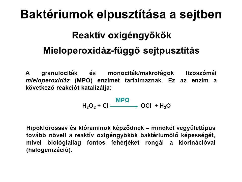 Baktériumok elpusztítása a sejtben Mieloperoxidáz-függő sejtpusztítás