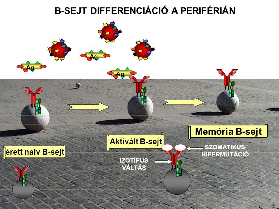 B-SEJT DIFFERENCIÁCIÓ A PERIFÉRIÁN SZOMATIKUS HIPERMUTÁCIÓ