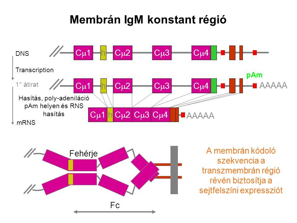 Membrán IgM konstant régió