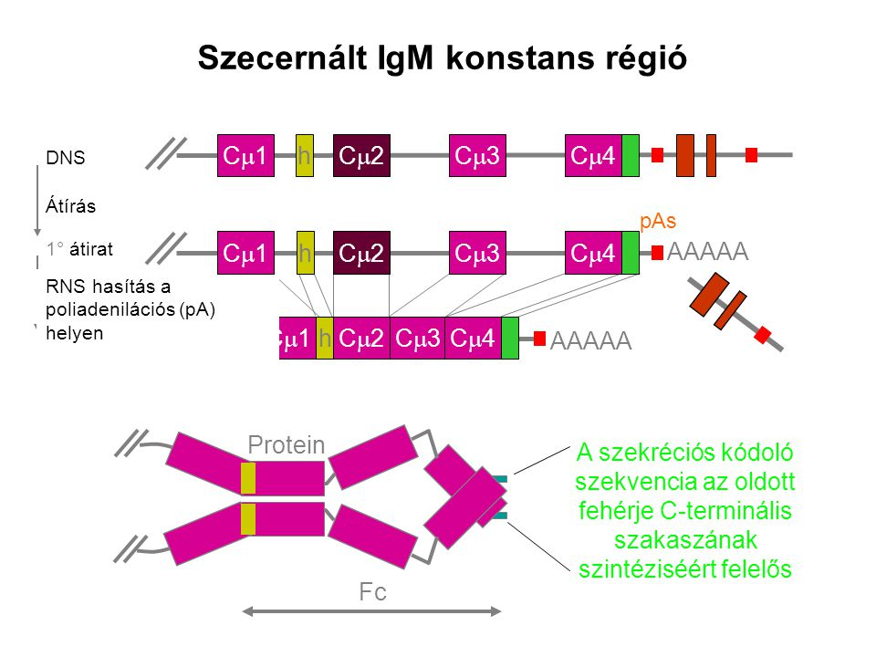 Szecernált IgM konstans régió