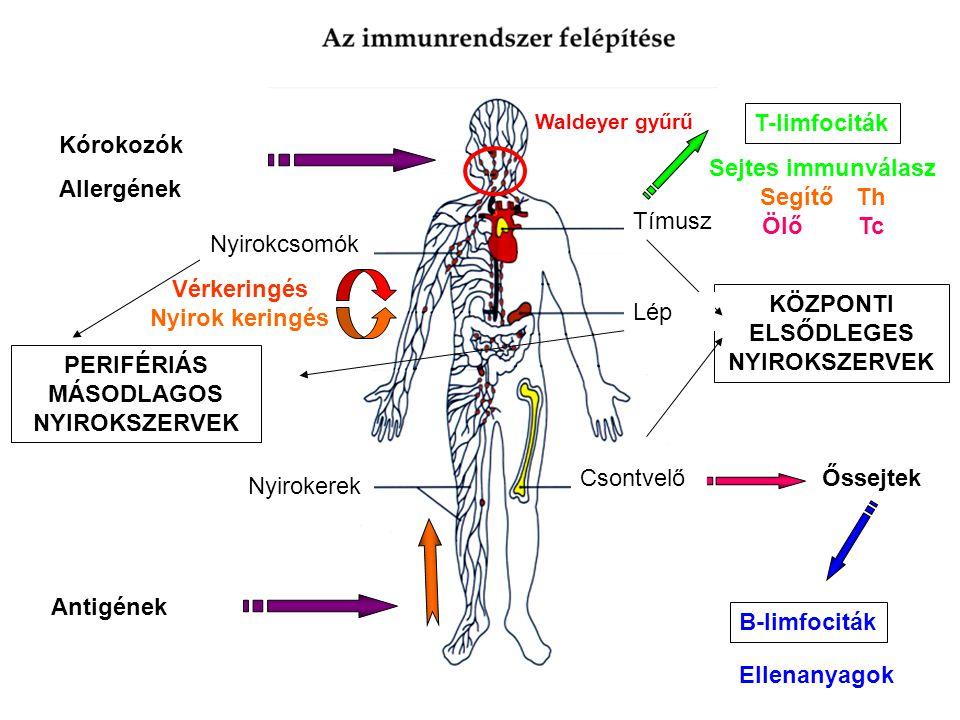 Lép Nyirokcsomók T-limfociták Sejtes immunválasz Segítő Th Ölő Tc