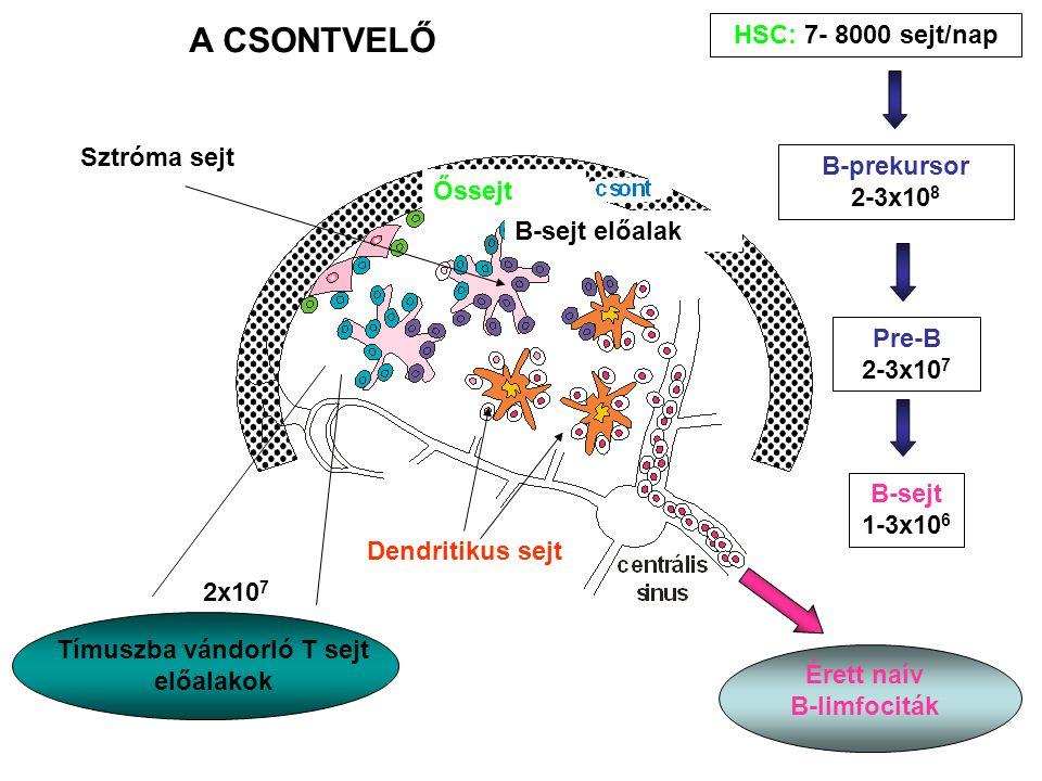 Tímuszba vándorló T sejt előalakok
