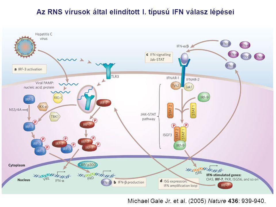 Az RNS vírusok által elindított I. típusú IFN válasz lépései