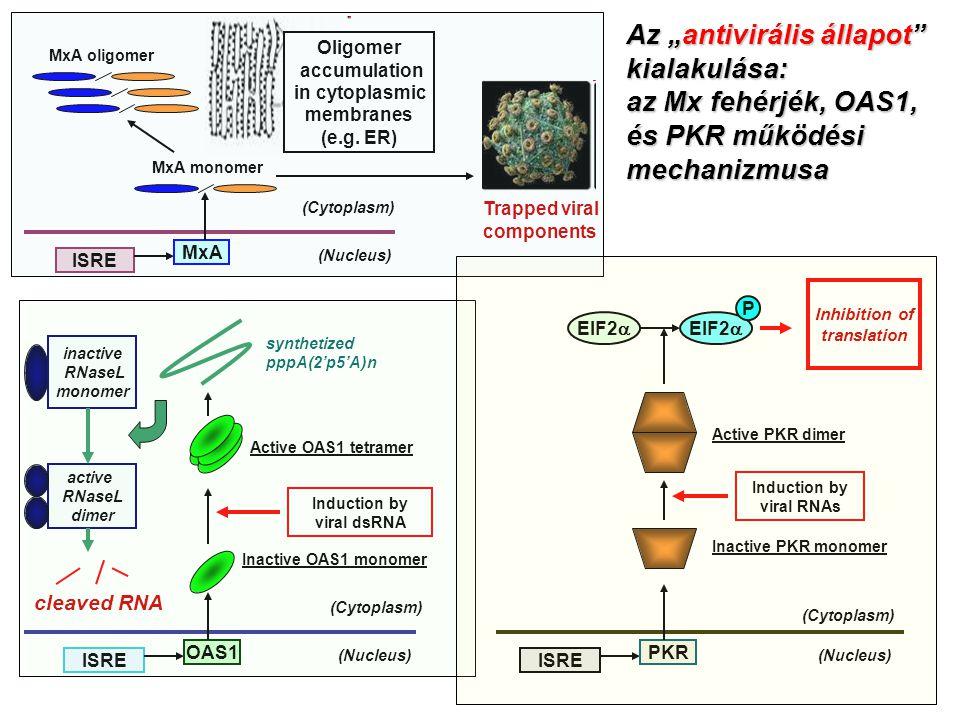 """Az """"antivirális állapot kialakulása: az Mx fehérjék, OAS1,"""