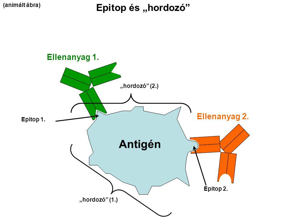 """Antigén Epitop és """"hordozó Ellenanyag 1. Ellenanyag 2. (animált ábra)"""