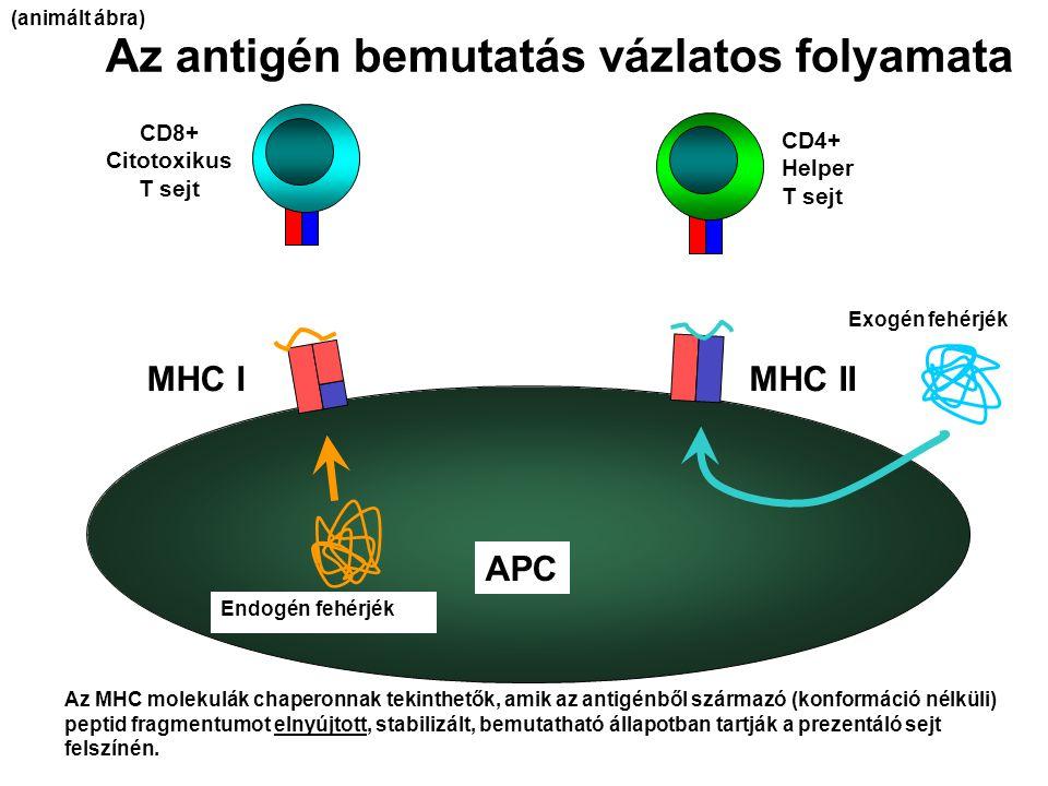 Az antigén bemutatás vázlatos folyamata