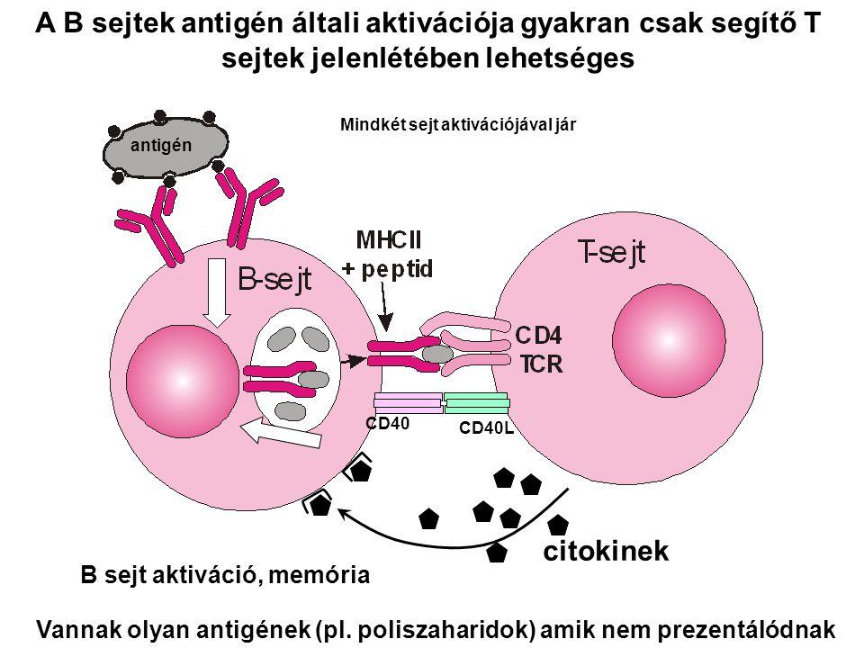 A B sejtek antigén általi aktivációja gyakran csak segítő T sejtek jelenlétében lehetséges