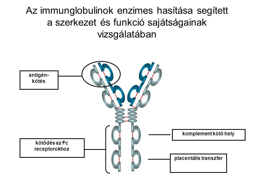 placentális transzfer kötődés az Fc receptorokhoz