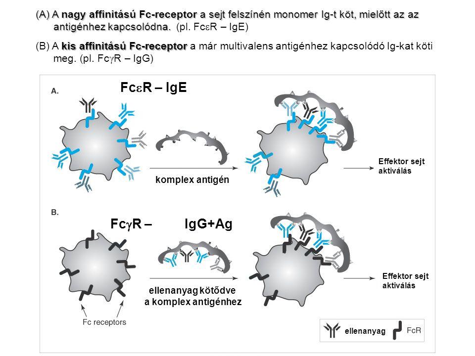 (A) A nagy affinitású Fc-receptor a sejt felszínén monomer Ig-t köt, mielőtt az az antigénhez kapcsolódna. (pl. FceR – IgE)