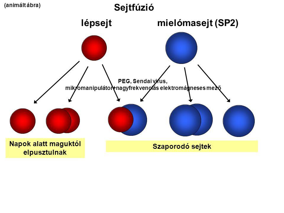 Sejtfúzió lépsejt mielómasejt (SP2) Napok alatt maguktól elpusztulnak