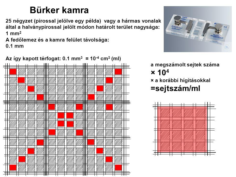 Bürker kamra × 104 =sejtszám/ml