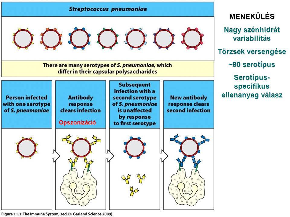 Nagy szénhidrát variabilitás Serotípus-specifikus ellenanyag válasz