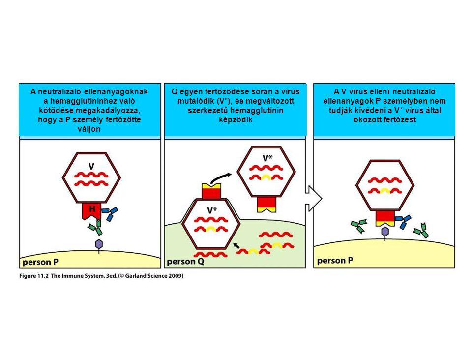 A neutralizáló ellenanyagoknak a hemagglutininhez való
