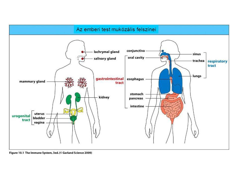 Az emberi test mukózális felszínei