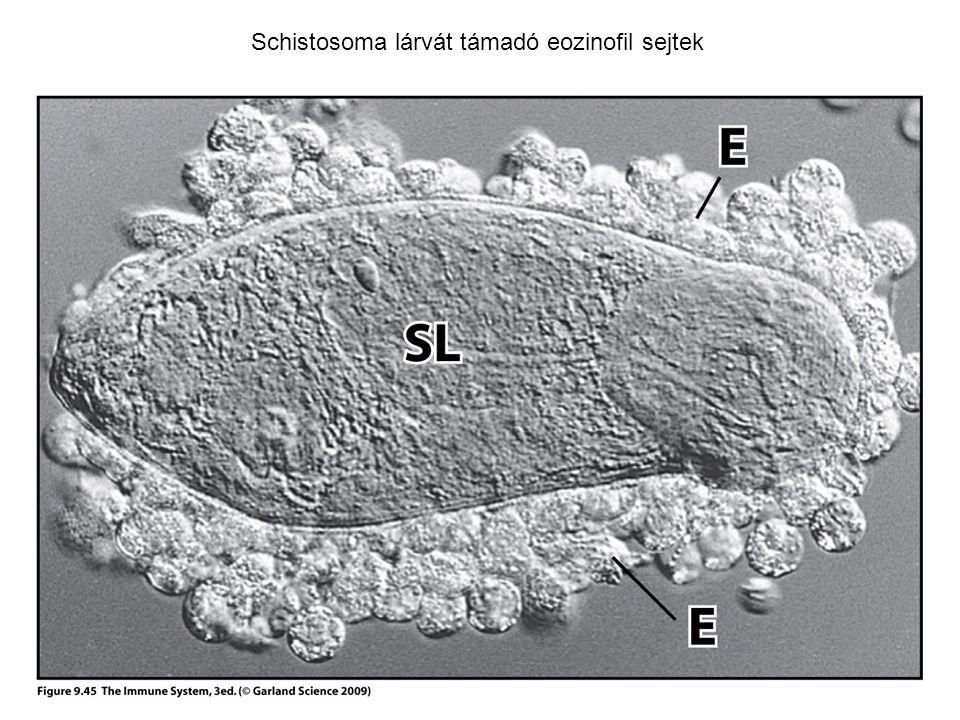 Schistosoma lárvát támadó eozinofil sejtek