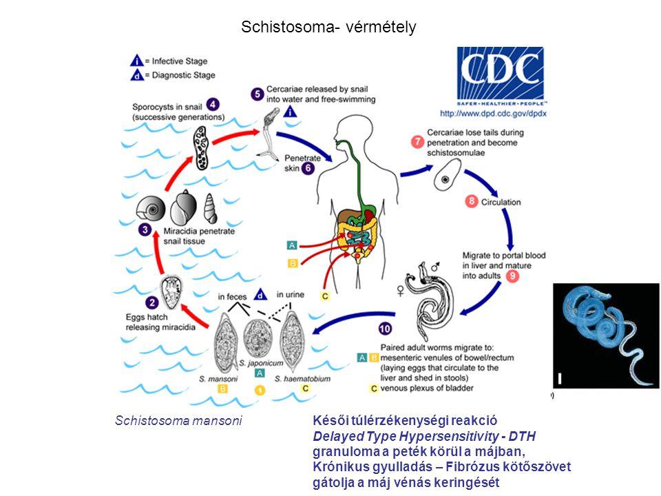 Schistosoma- vérmétely