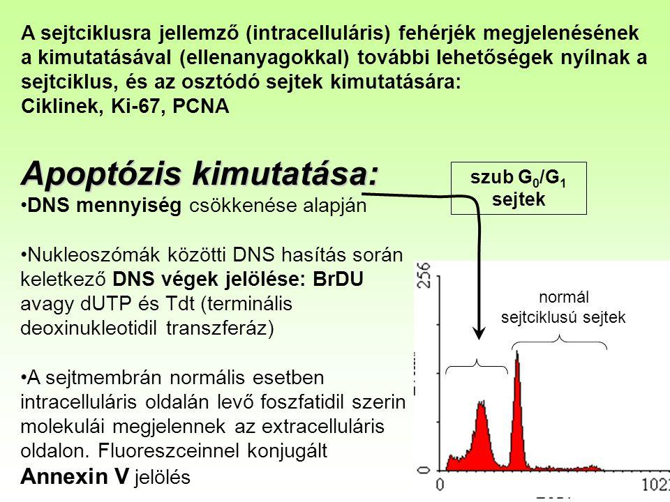 normál sejtciklusú sejtek