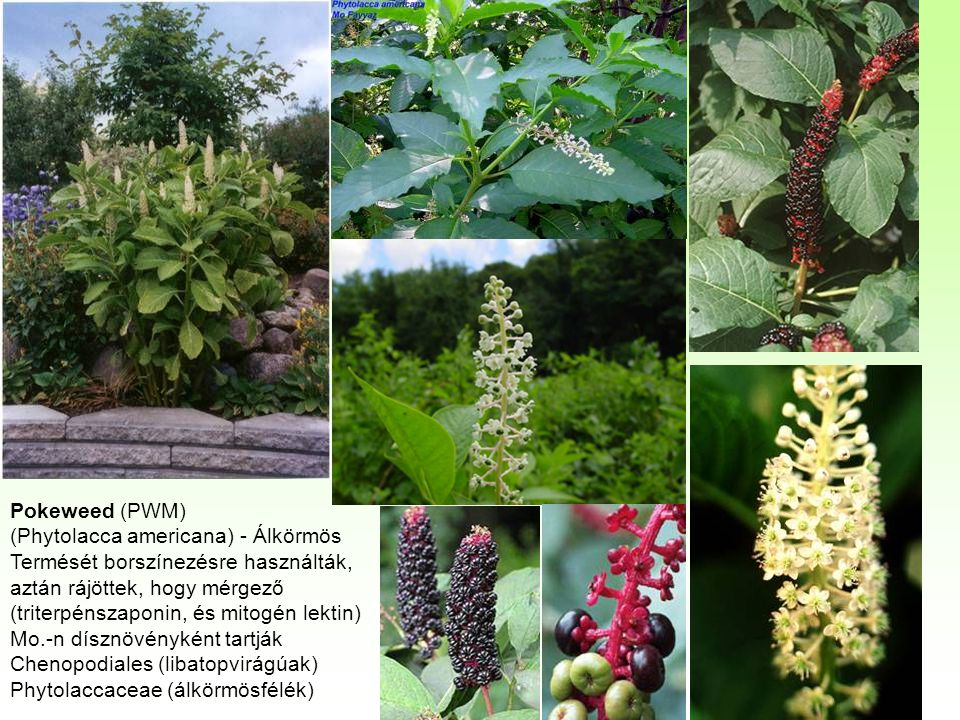 Pokeweed (PWM) (Phytolacca americana) - Álkörmös. Termését borszínezésre használták, aztán rájöttek, hogy mérgező.