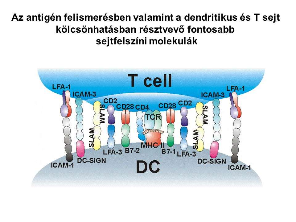 Az antigén felismerésben valamint a dendritikus és T sejt