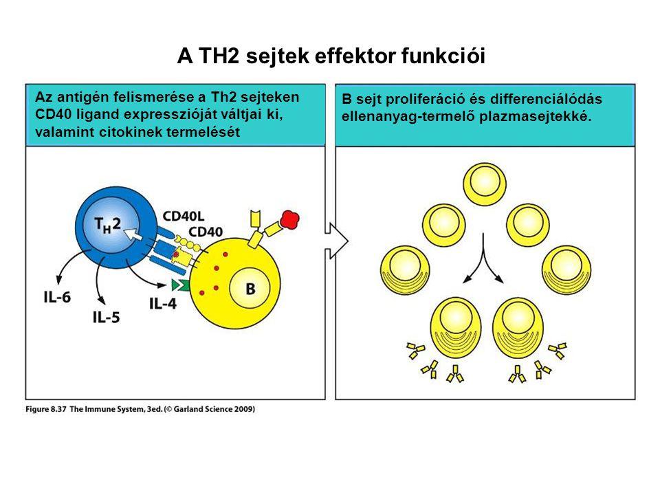 A TH2 sejtek effektor funkciói