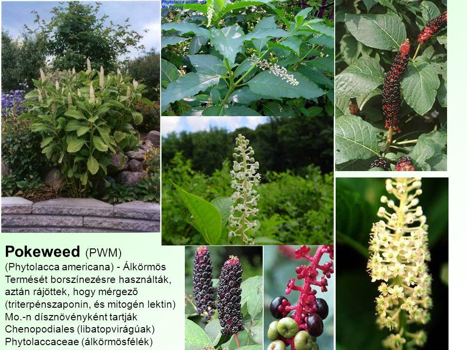 Pokeweed (PWM) (Phytolacca americana) - Álkörmös